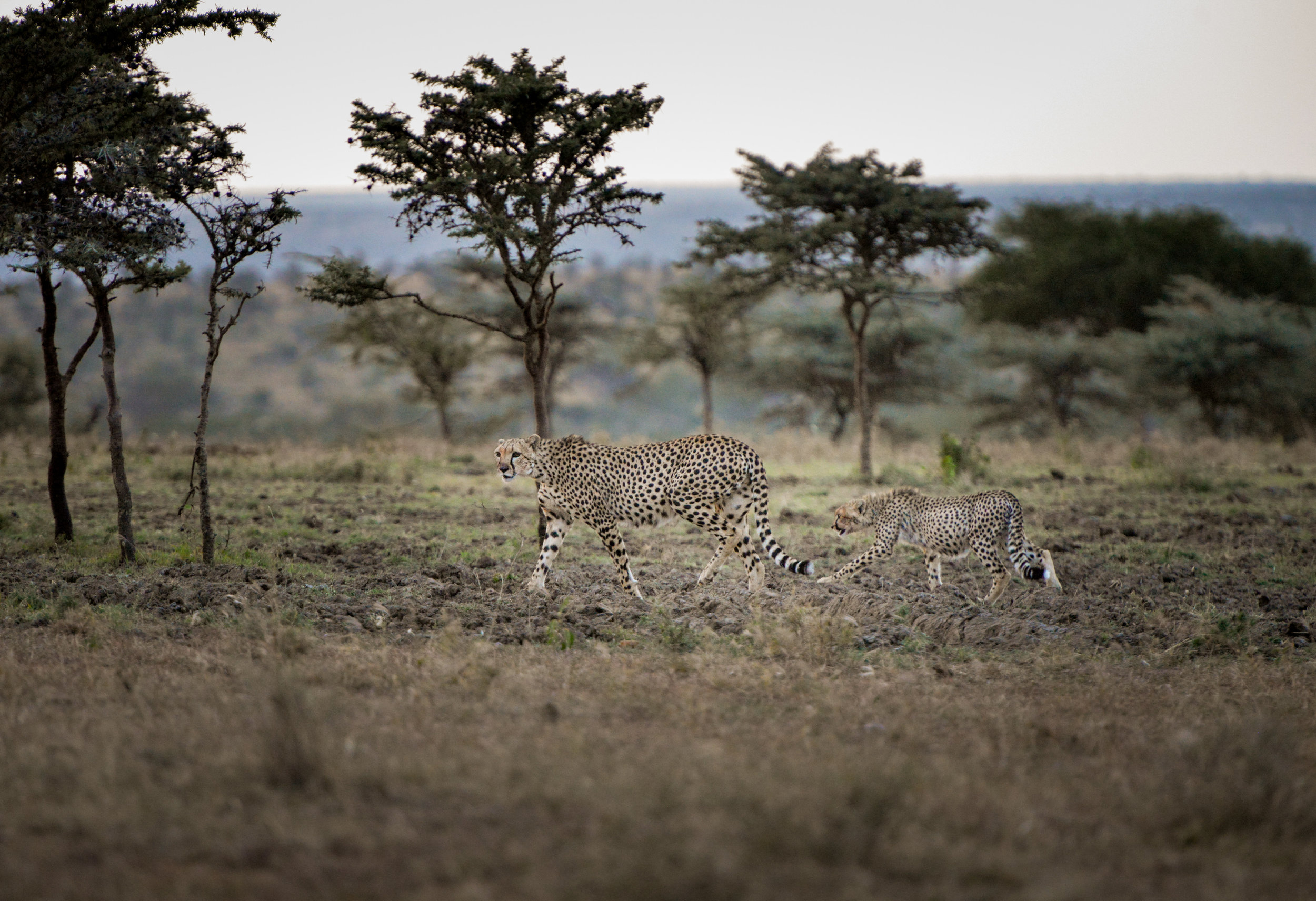 A cheetah and her cub after a kill on El Karama Ranch in the Laikipia region of Kenya