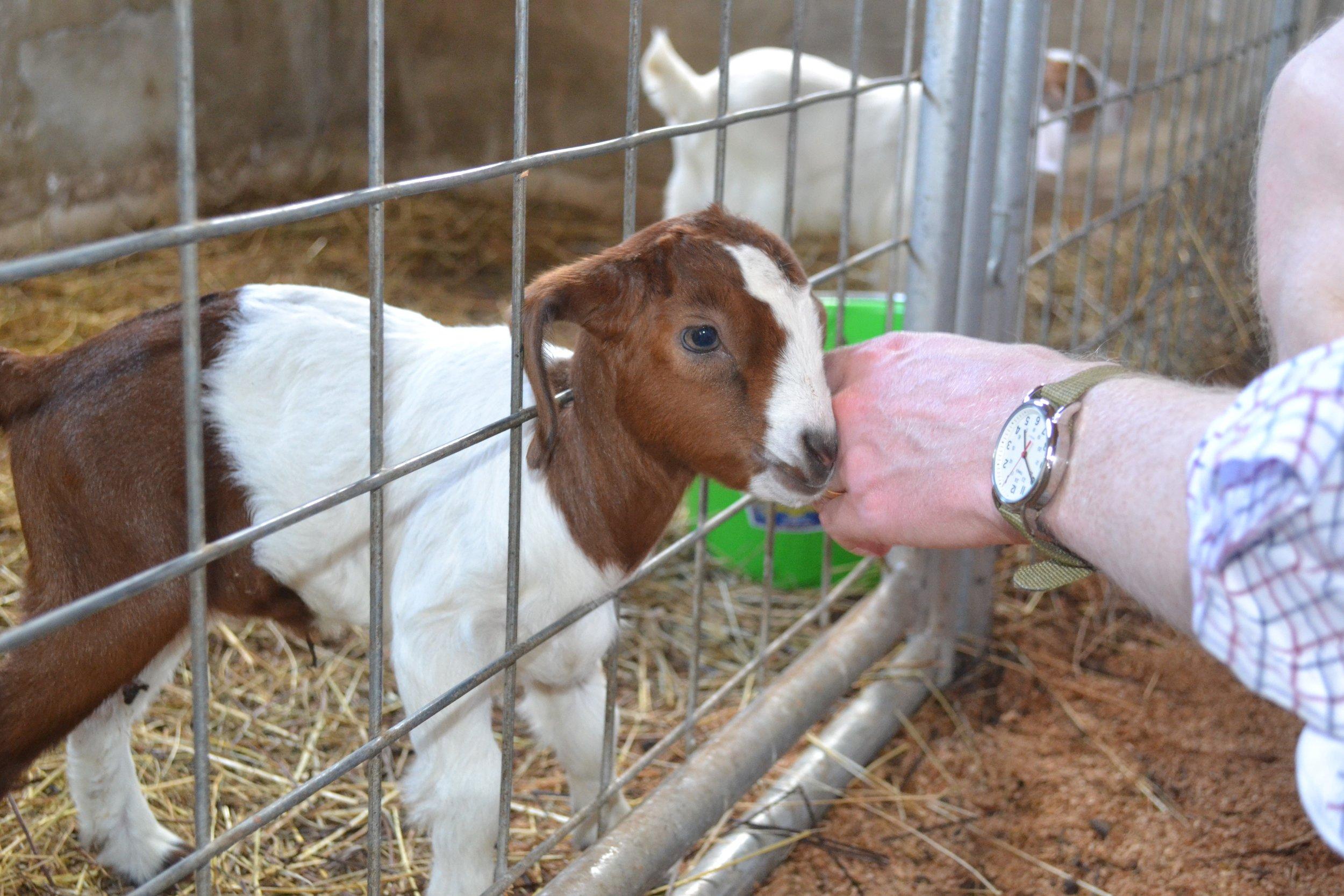 Activities_McD_Farm_Baby_Goat.jpg