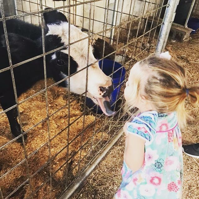 You gotta watch out for cow sugars when you are visiting in the Little Critter Barn 😁 #8moredaysuntilweopen #FallFarmDays #oldmcdonaldfarm