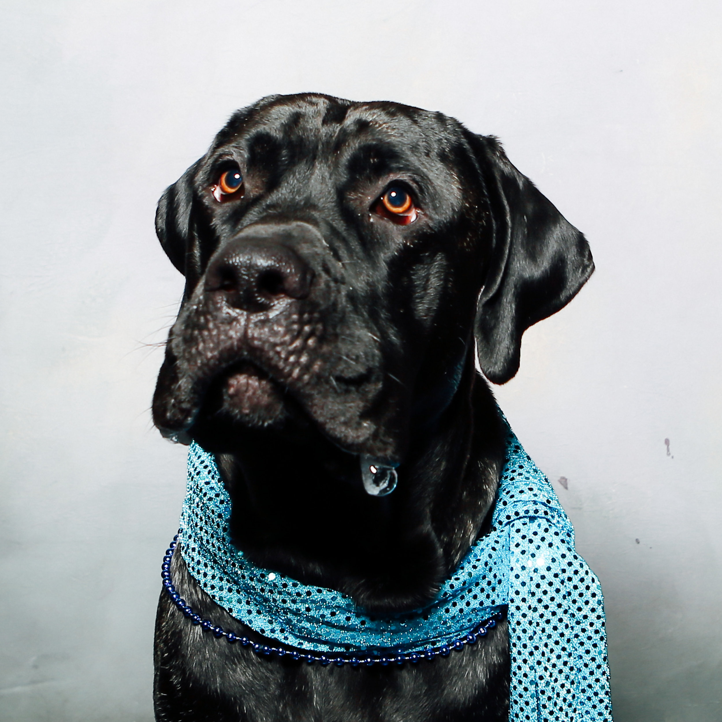 Jake is a silly dog who likes walks with Cameron and Rayla, as well as sitting in your lap, despite weighing 125 lbs. He will definitely get drool on your pants.