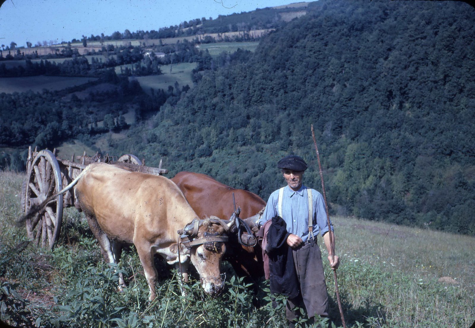 Pépé with two of his cows hauling hay.