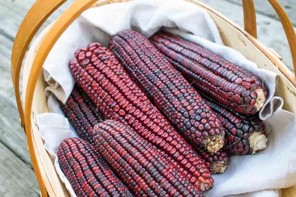Bloody-Butcher-corn-ears.jpg