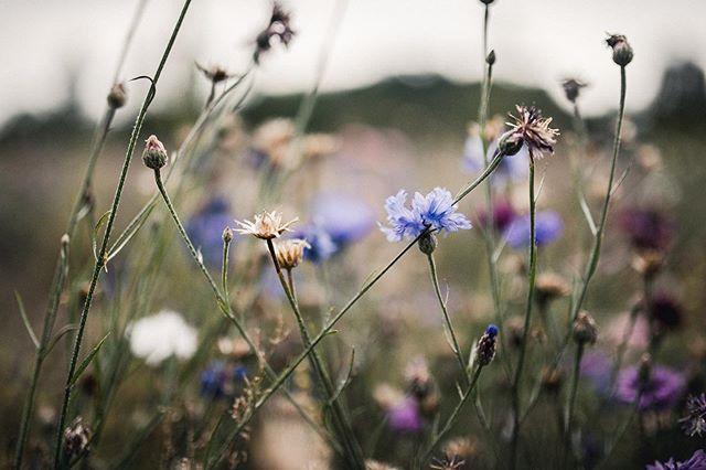 Autumn vibes 🧡 . . . . . . #cornflower #naturephotography #photography #amateurphotographer #valokuvaus #valokuvaaja  #nuoretvalokuvaajat #nvkviikonkuva #nikon #sigma