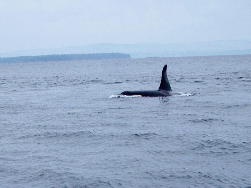 Orca off Vancouver Island, British Columbia | Earthtones Travel + Design Blog | Roo Bea Design Co