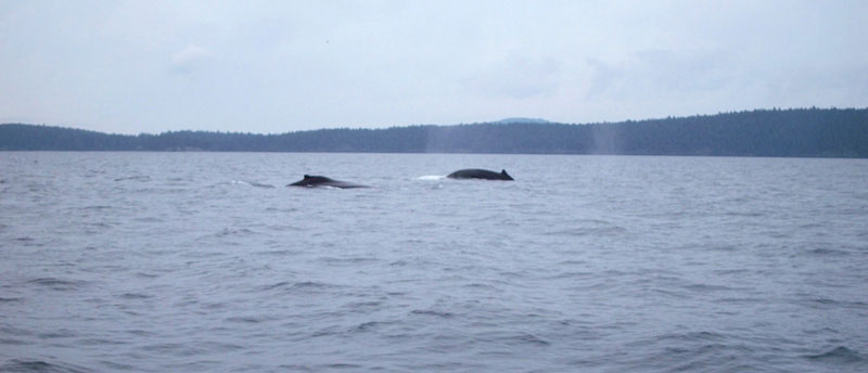 Humpback whales!!! | Earthtones Travel + Design Blog | Roo Bea Design Co