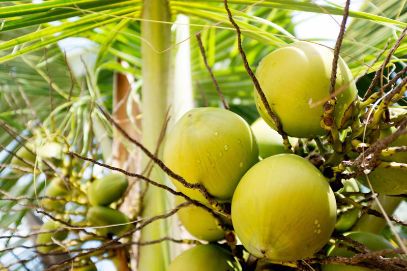 Coconuts on Arenas Beach - Big Corn Island, Nicaragua | Earthtones Travel + Design Blog | Roo Bea Design Co