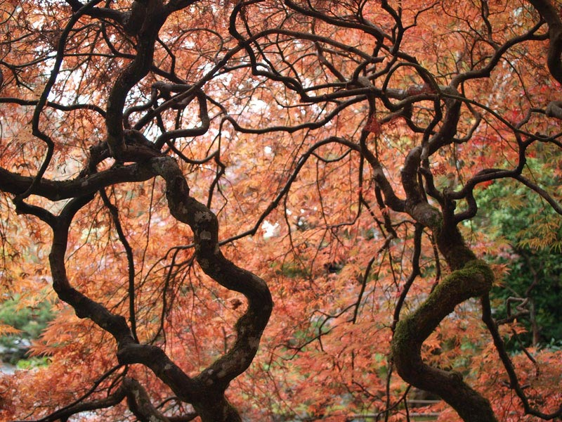 Japanese Maples at The Butchart Gardens in Victoria, British Columbia | Earthtones Travel + Design Blog | Roo Bea Design Co