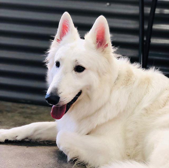 The Shabby Dog Crew!  Jasper, Elvis,Otto Regan, Max. They own this place. #doggiedaycare #dogstagram #dogs_of_instagram #dogs #dogsplay #sierramadre