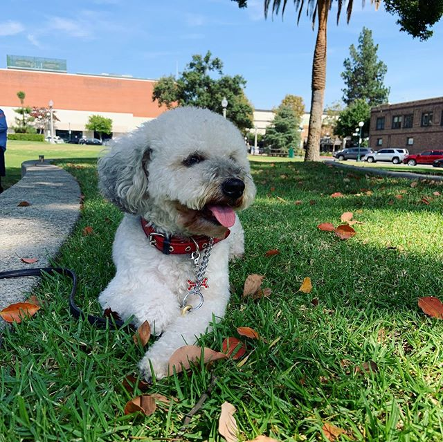 5 year old Frankie posing for the camera. Such a sweet boy!  #adoptdontshop #poodle #rescuedogs #rescuedogsofinstagram #shabbydogrescue #sierramadre