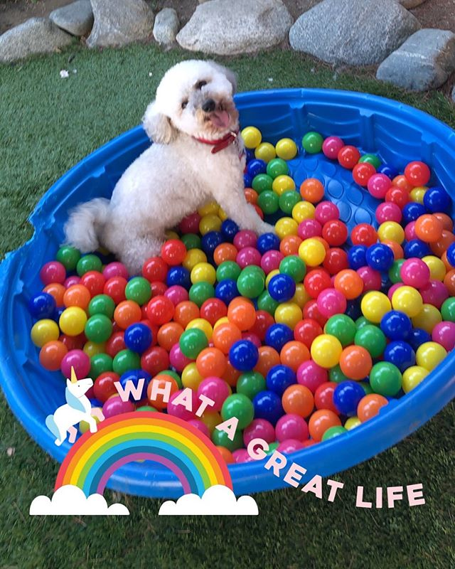 Frankie playing in our pool of balls!  #adoptdontshop #rescuedogs #rescuedogsofinstagram #adoption #maltipoo
