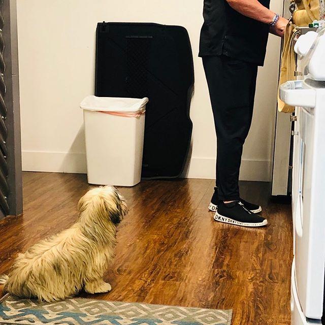 Come on!  I'm sitting pretty. Now give me some. 🤪#adoptdontshop #rescuedog #shorkiesofinstagram #beggingdog #cutedogs #puppylove #sittingpretty