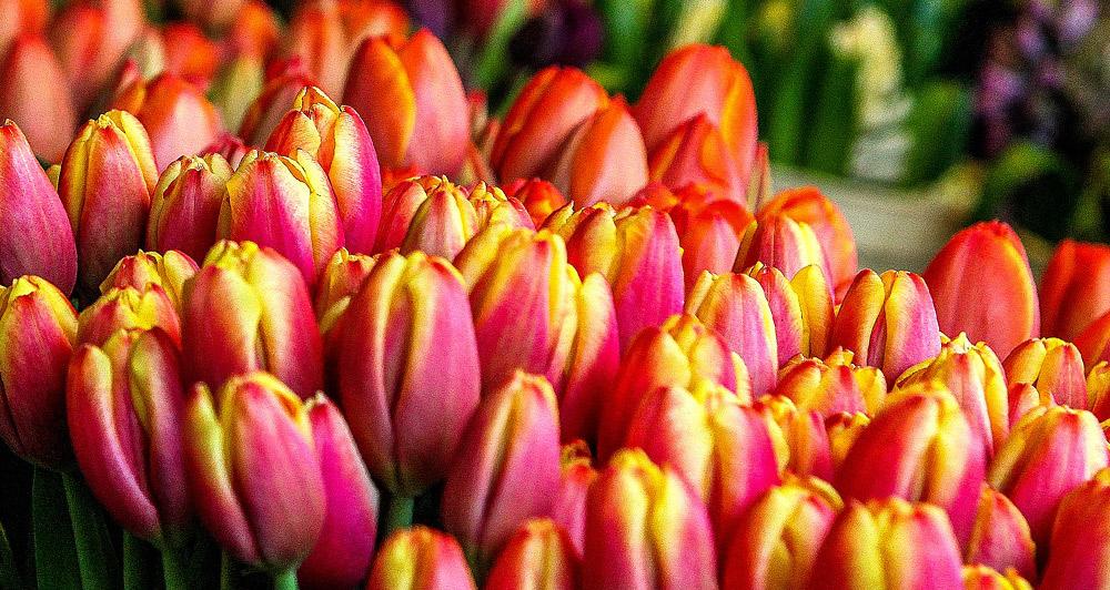 Tulpaner, hyacinter, amaryllis, hortensior - Alla blommor som odlats under hållbara villkor i Sverige får heta Blomsterboda.
