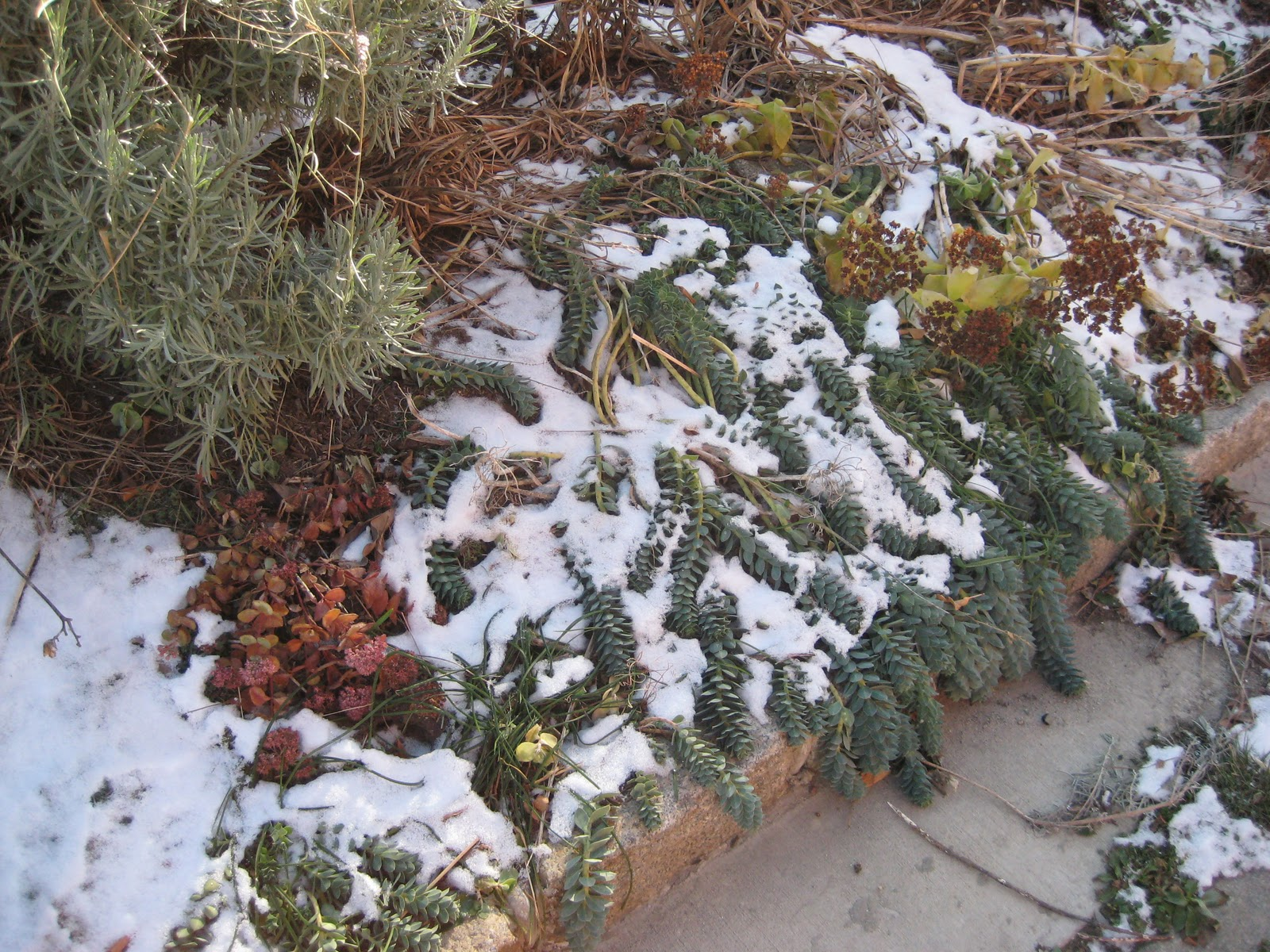 sedum and snow.jpg
