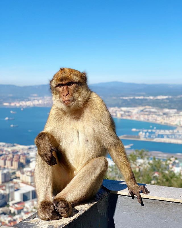 The Dwayne the Rock Johnson of Gibraltar #gibraltar #monkeymoon #highaf #thiccomode #honeymoon #savagebutcute #likeme #ooo