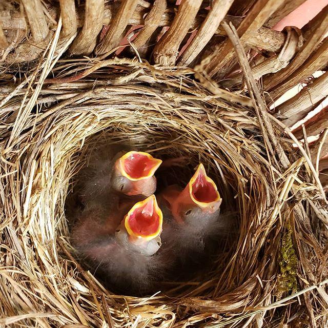 Bird babies! Our resident chickadee has three new mouths to feed! @juddcreekranch #vashonisland #artgallery #nature  #chickadees
