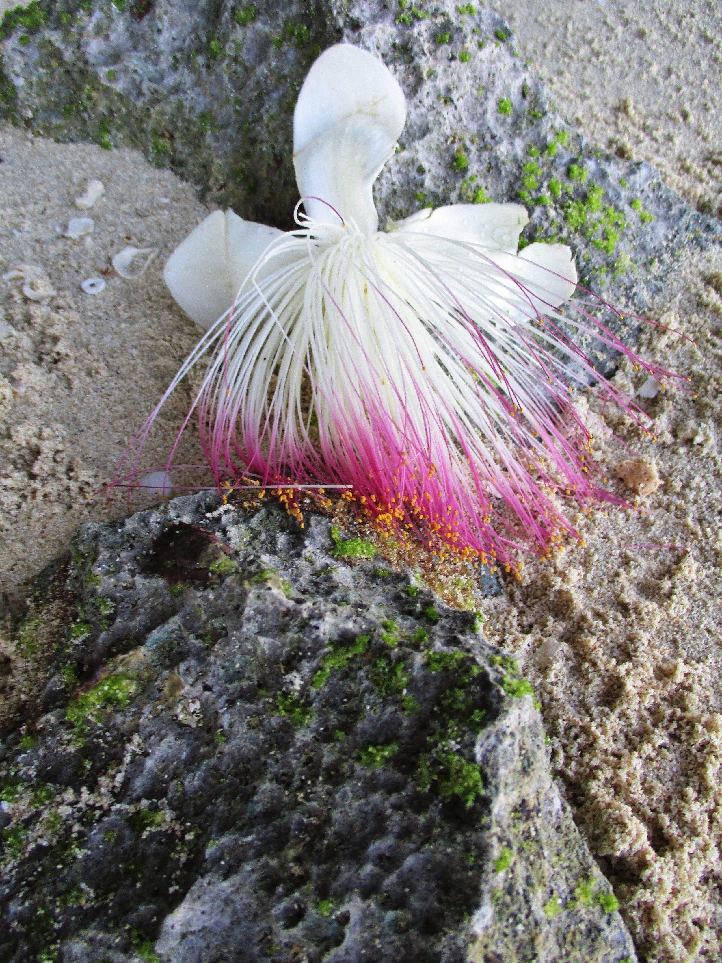 Flower.2, Leleluvia, Fiji, 2017 (1).JPG