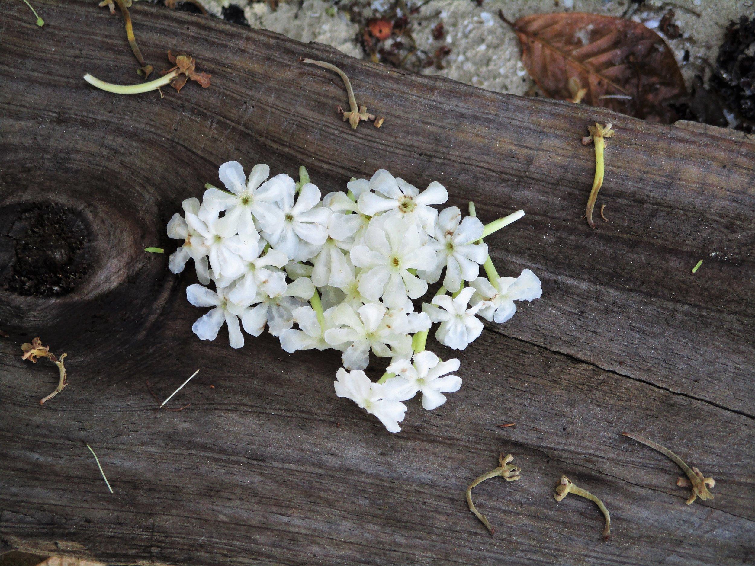 Flower.2, Leleluvia, Fiji, 2017 (2).JPG