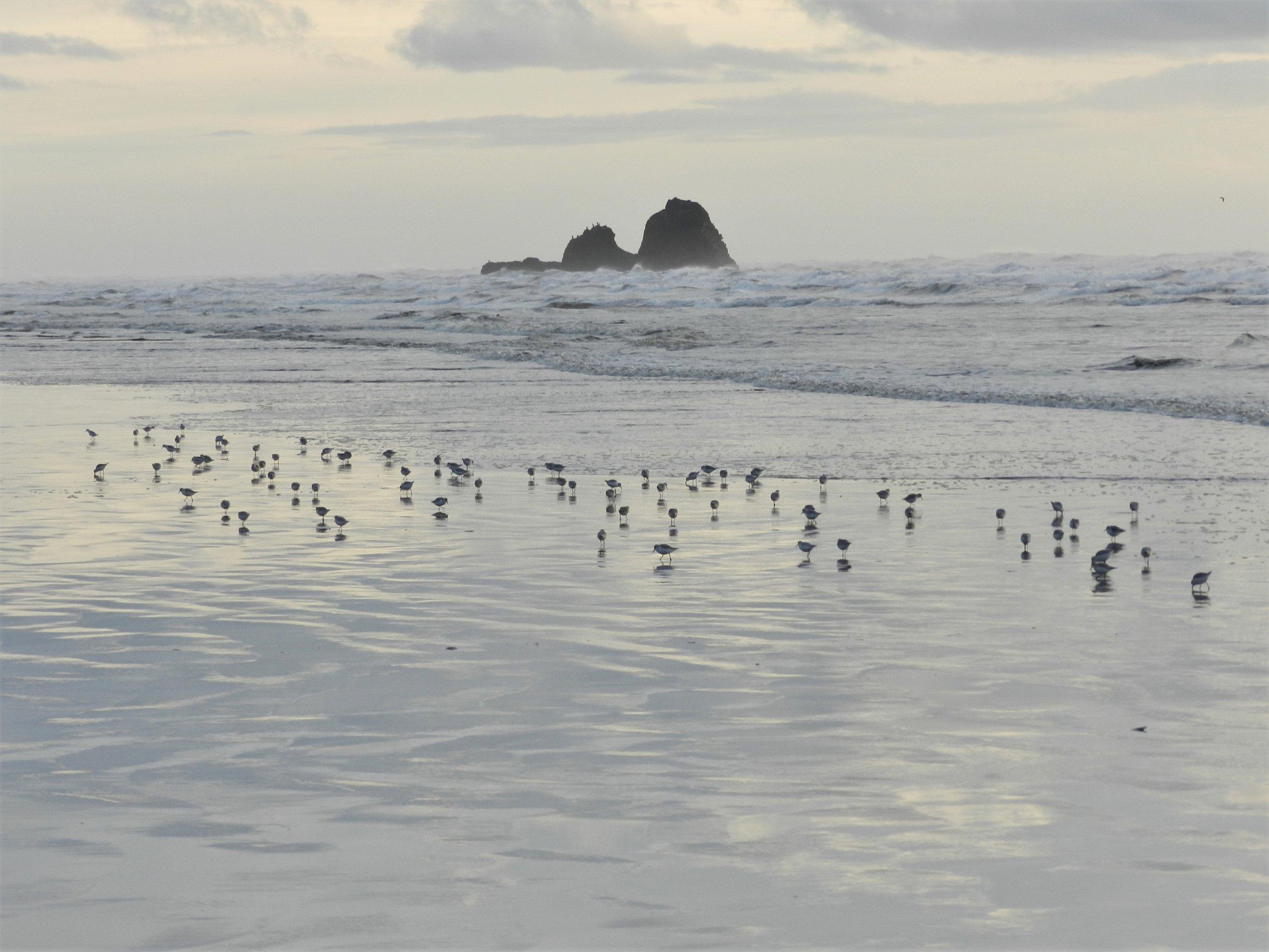 Shore Birds, Copalis Rock, 2018.JPG