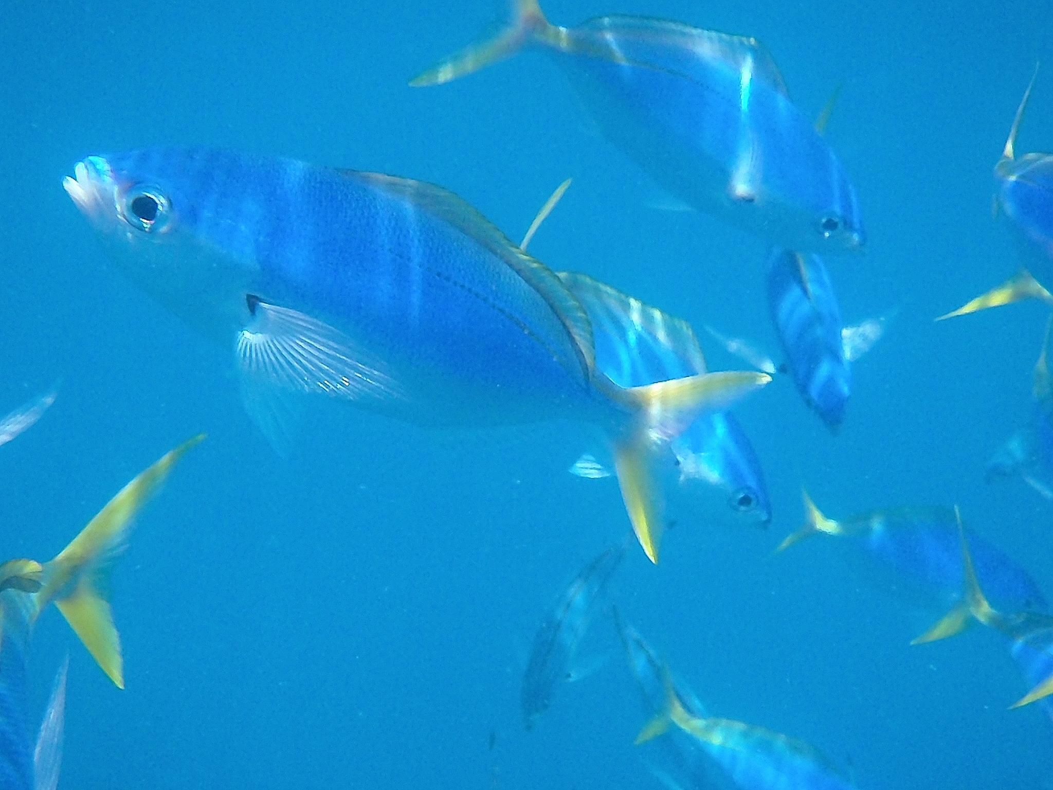 Blue _ Yellow Fusiliers, Great Barrier Reef, 2013.JPG
