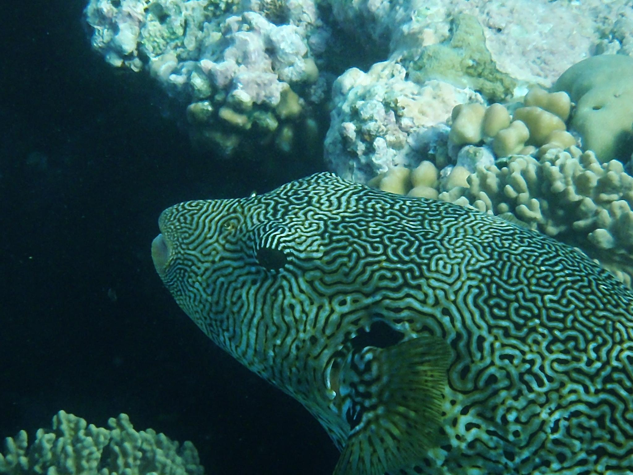 Pufferfish, Great Barrier Reef, 2013.JPG