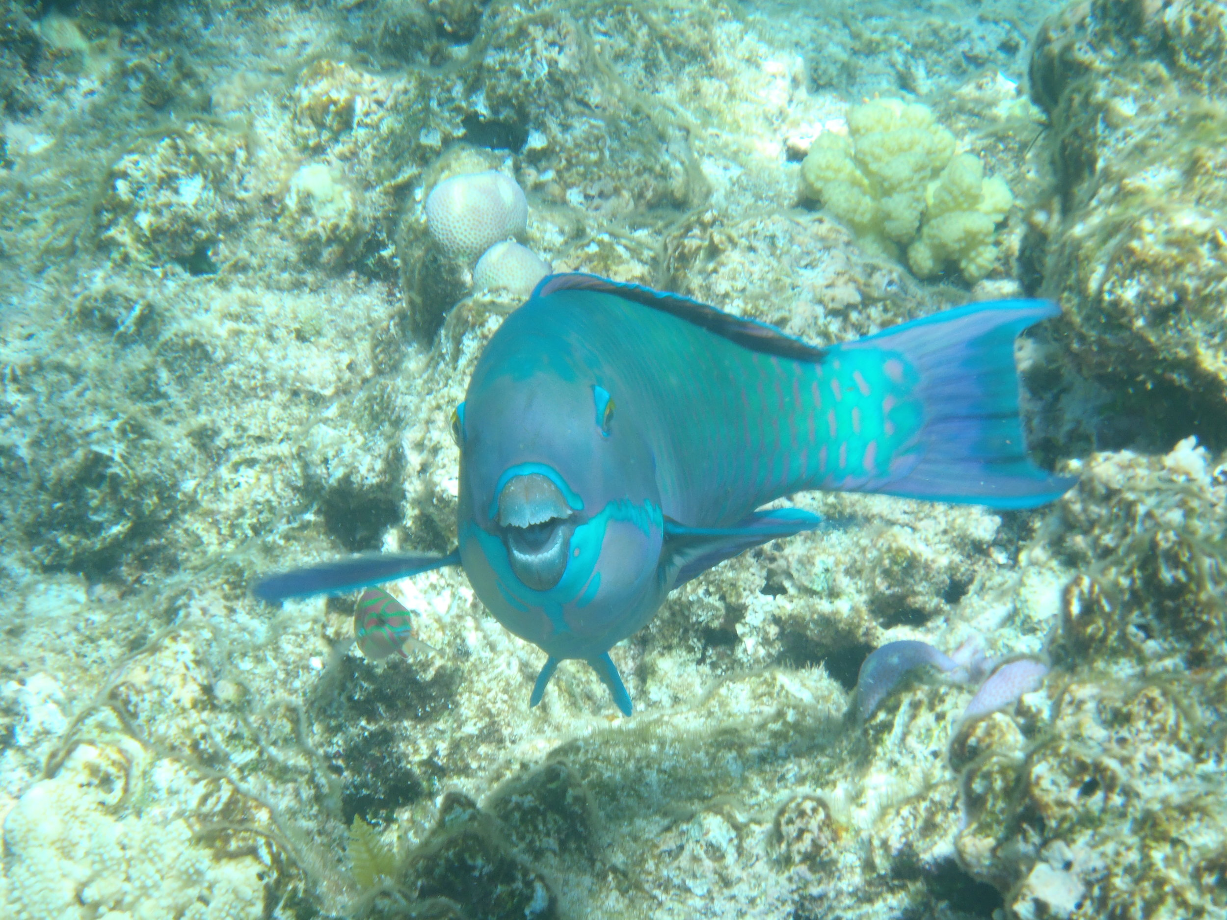 Parrot Fish, Great Barrier Reef, 2013.JPG