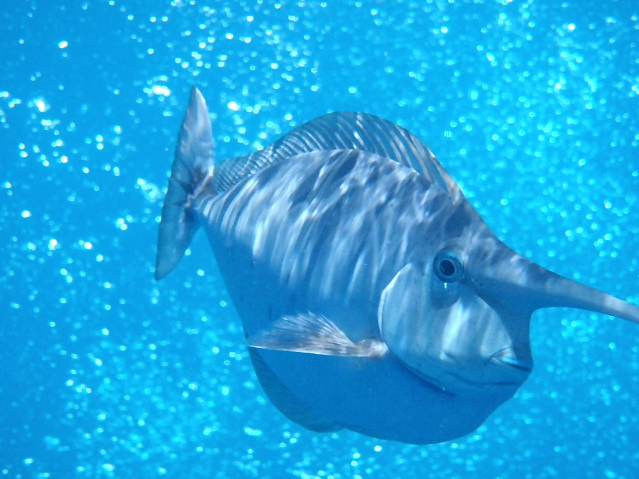 Unicorn Fish, Great Barrier Reef, 2013.JPG