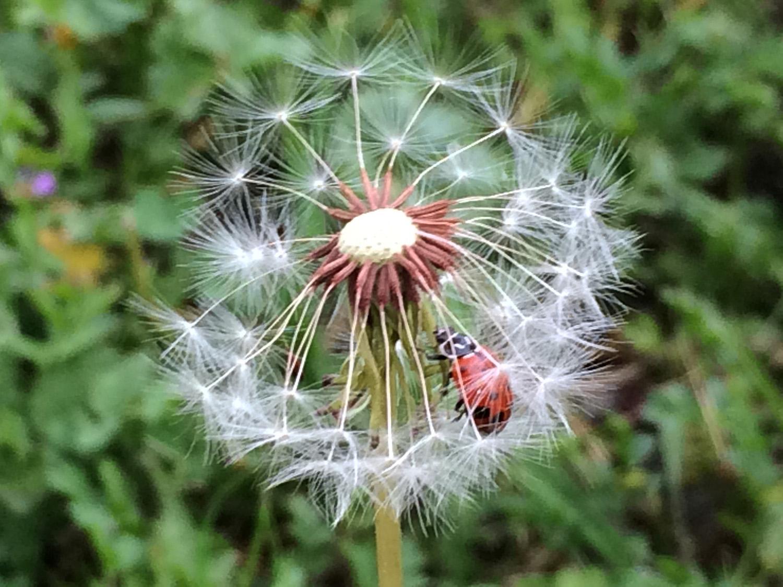 ladybug_dandln_4282.jpg