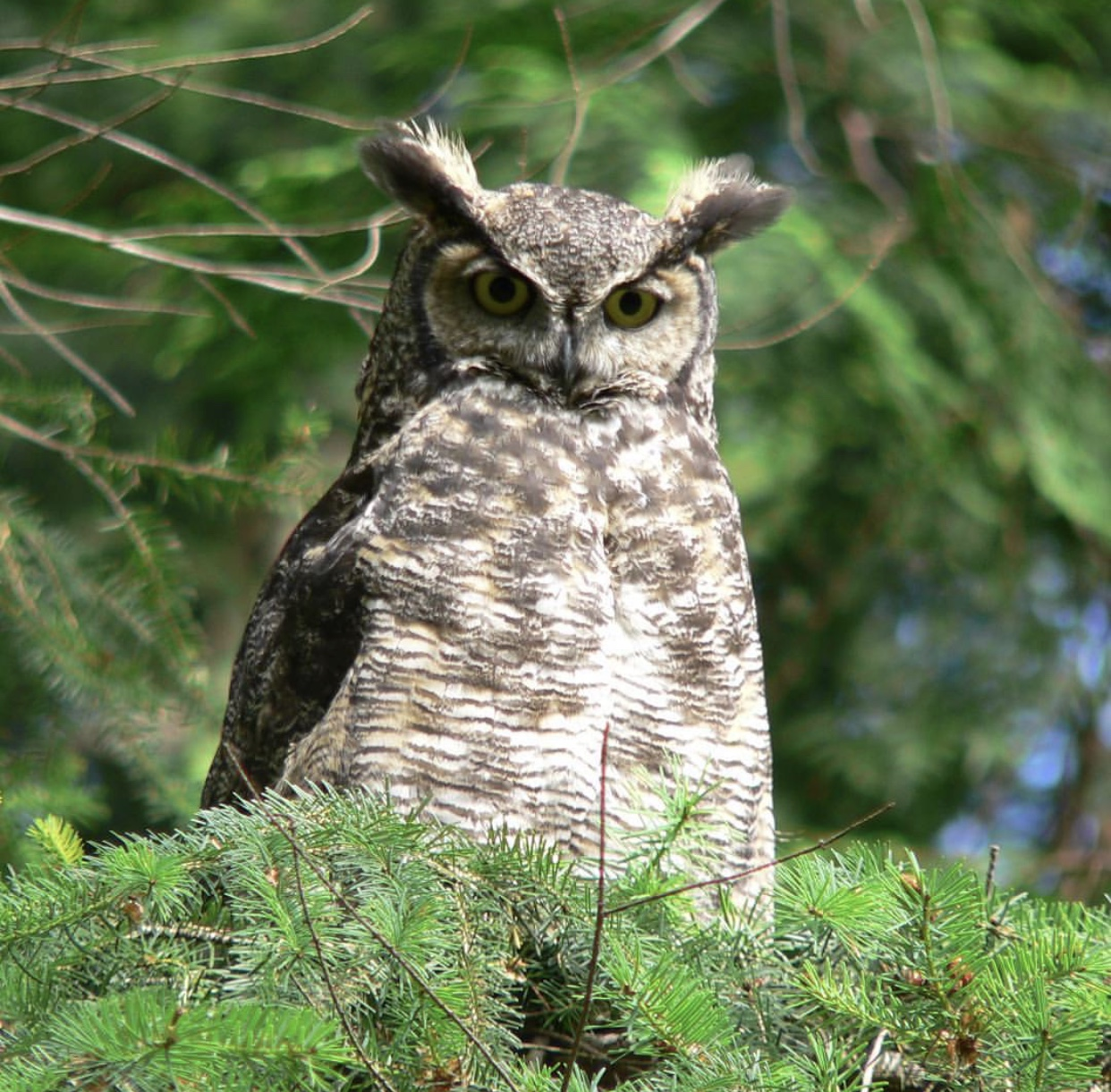 Great Horned Owl (photo by: Doris May)