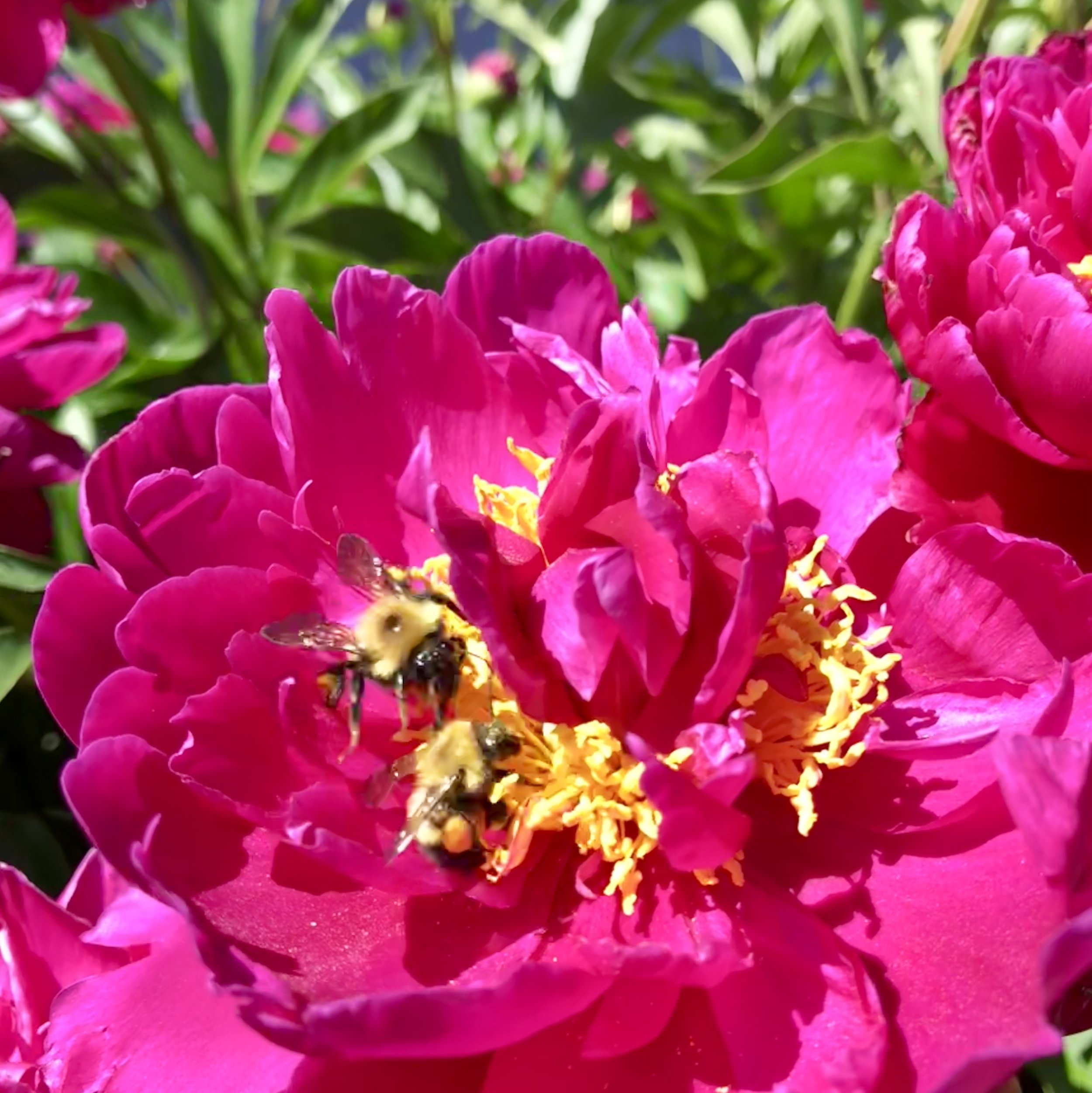 Bumble bees on peony (photo by:  @thelotuspage )