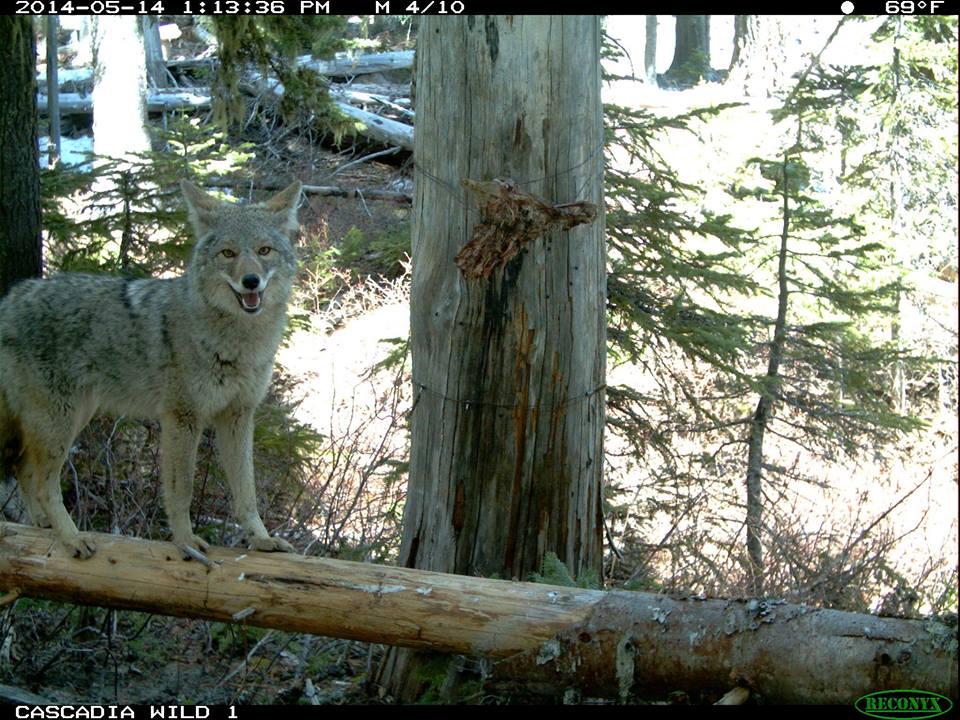 Cascadia Wild Animal.jpeg