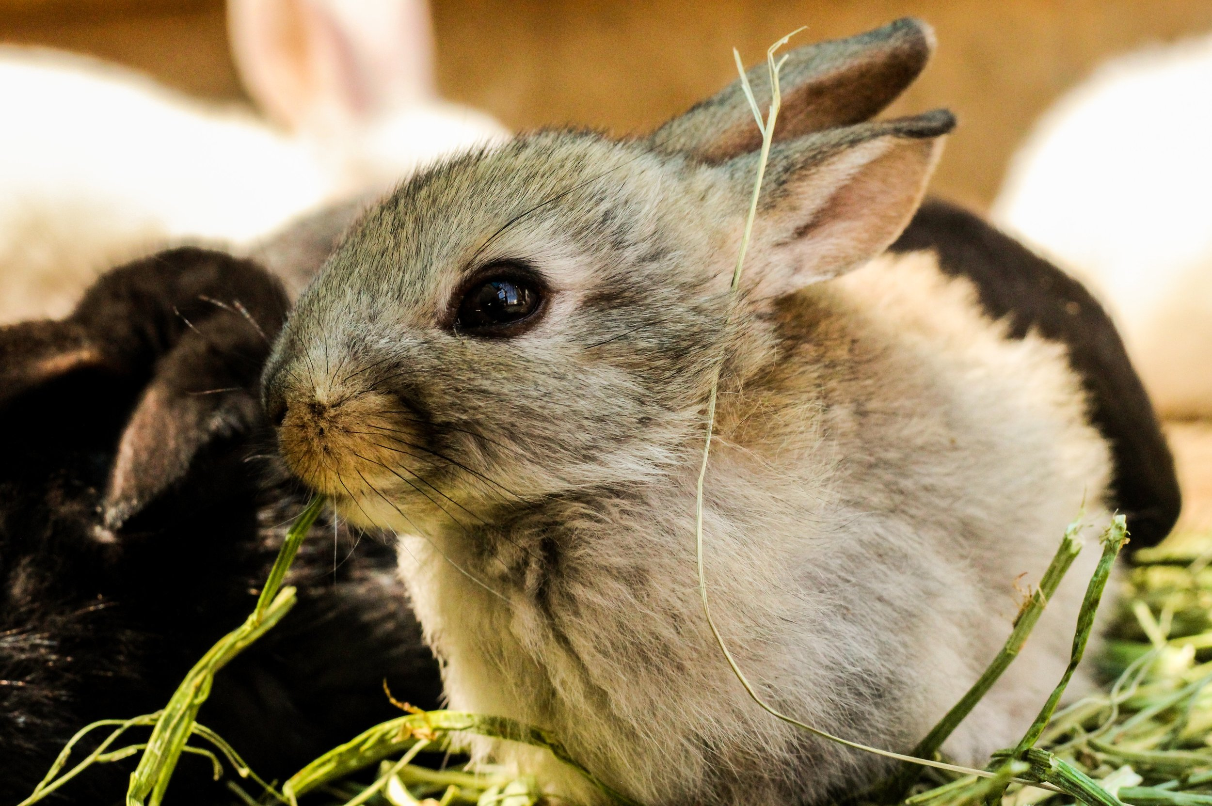 Ailments suffered by house bunnies