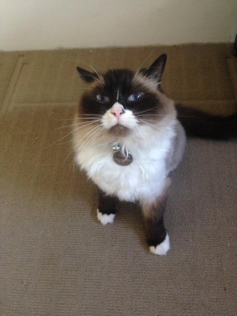 Ragdoll cat care
