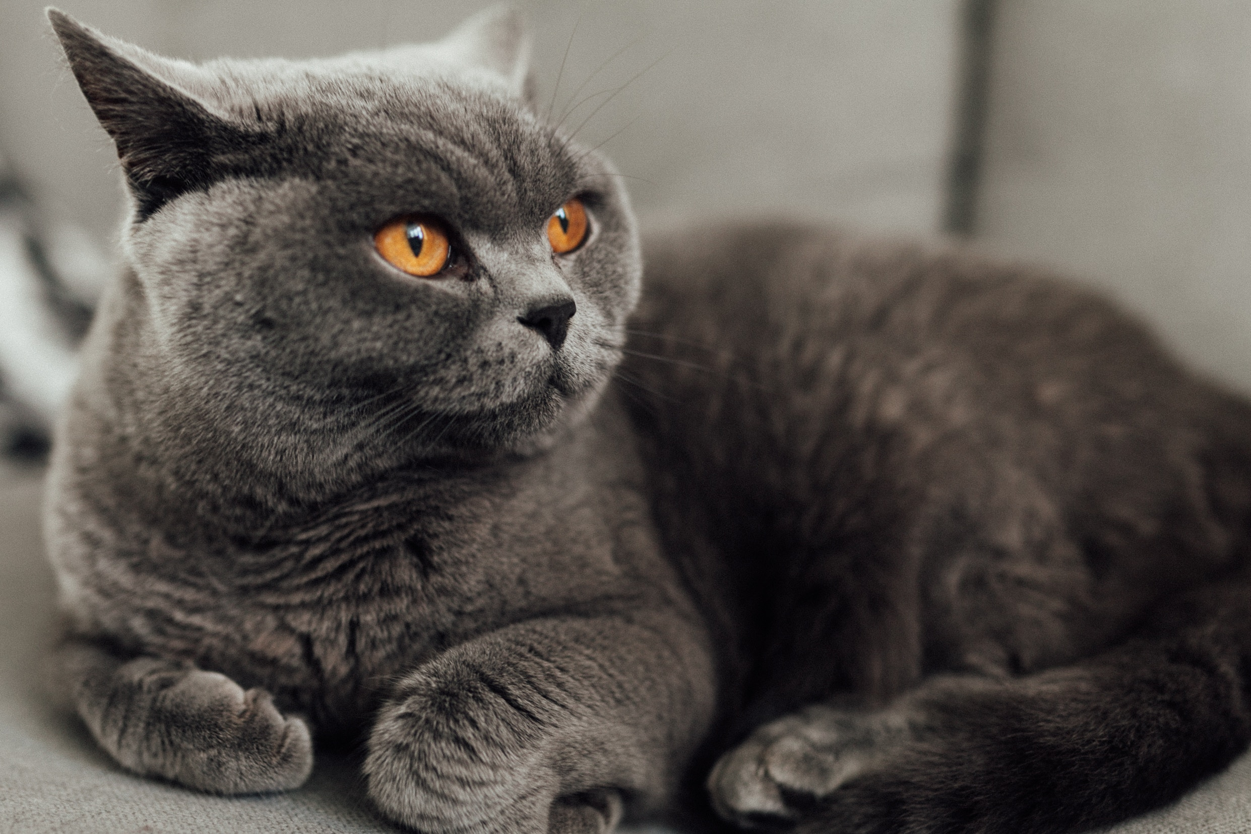 British shorthairs are brachycephalic animals and need extra care
