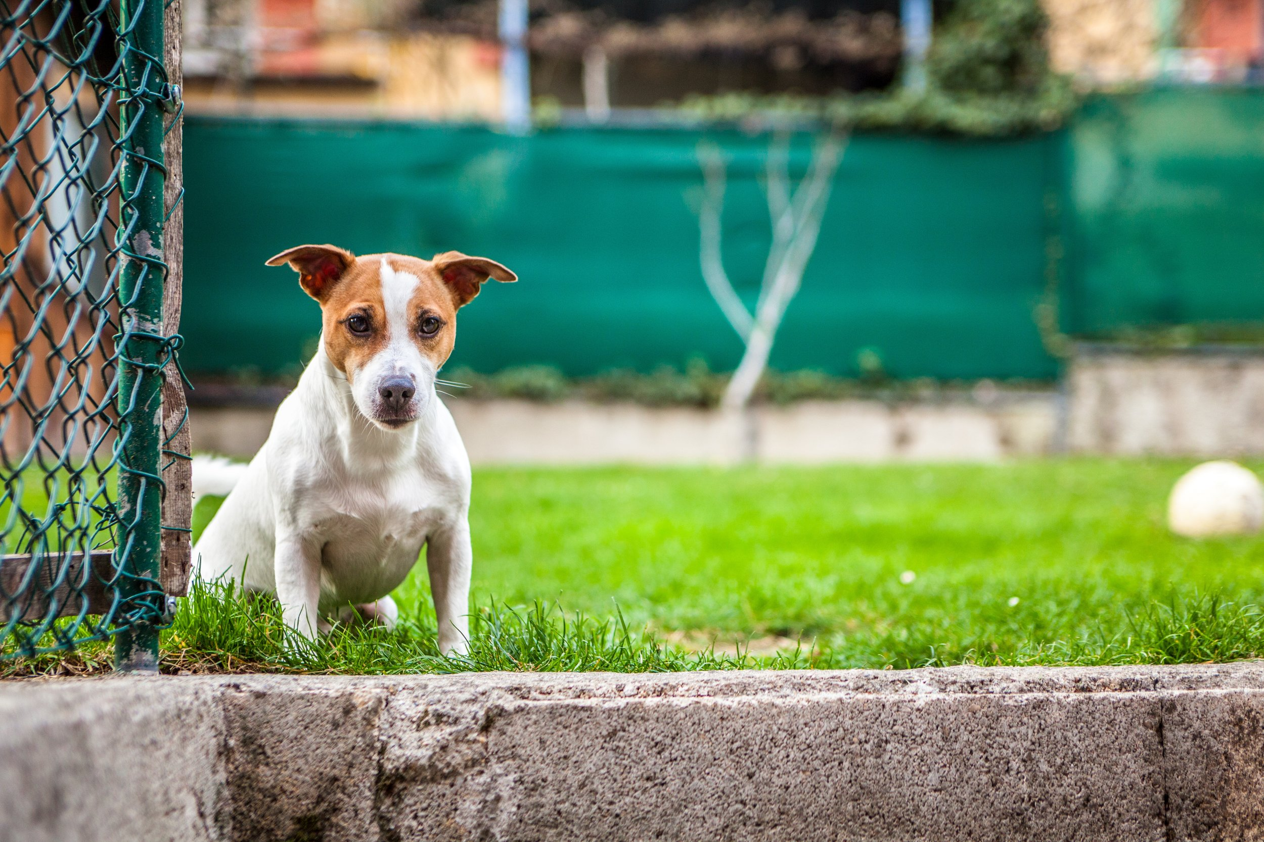 Jack Russells are high-energy dogs that need loads of activity time