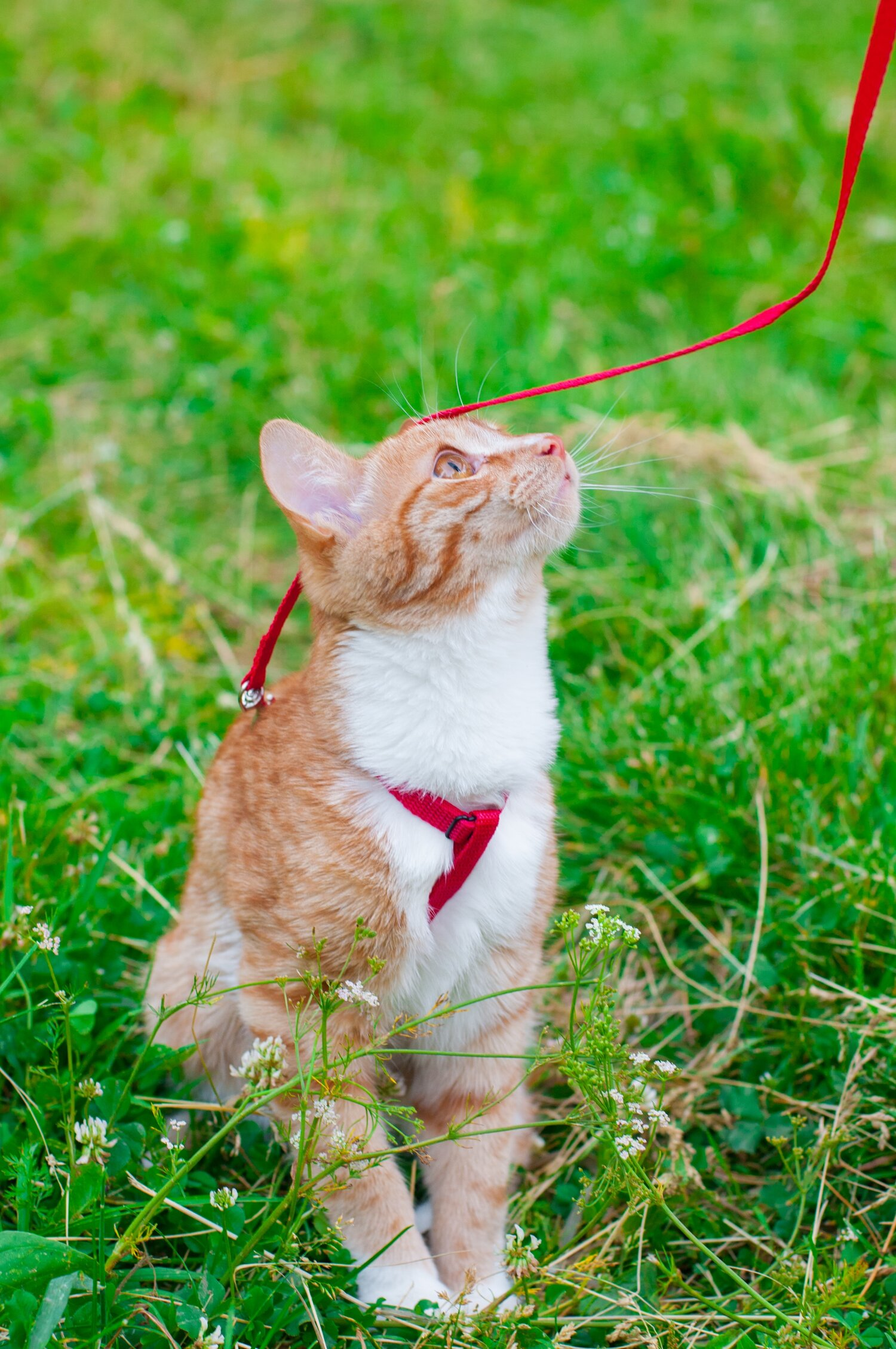 Start early. Train your cat to get used to a harness and walking on a leash.