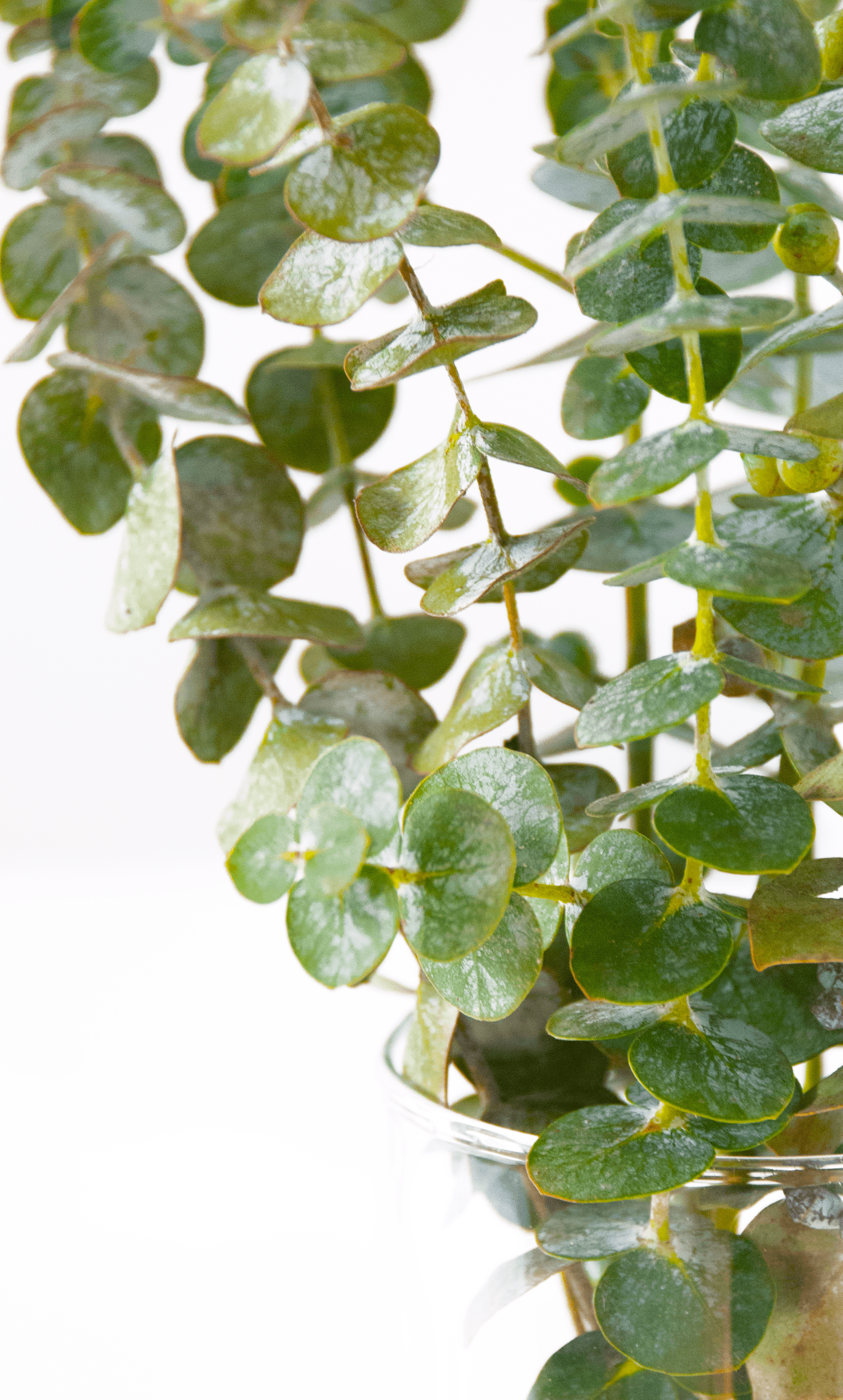 Eucalyptus leaves are packed with oil.