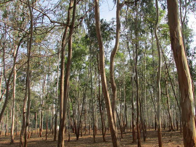 This is what a wild eucalyptus forest looks like .