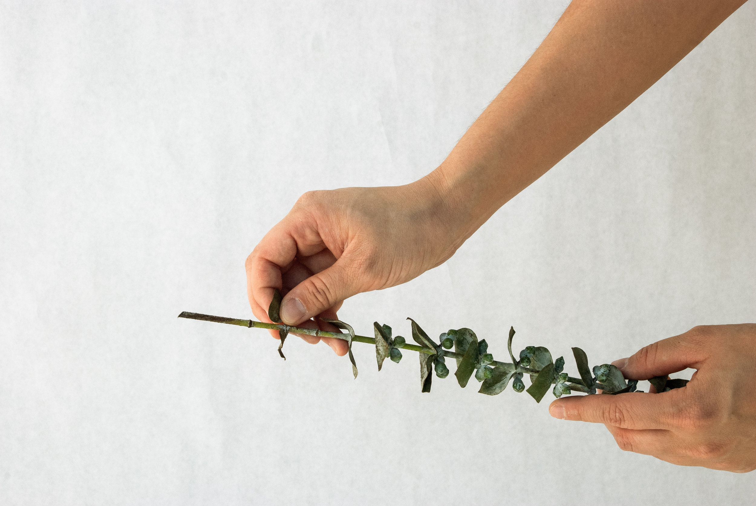 fresh eucalyptus branches larolf natural easy flowers cut shop online