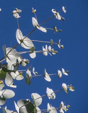 larolf-eucalyptus-blue-background.png