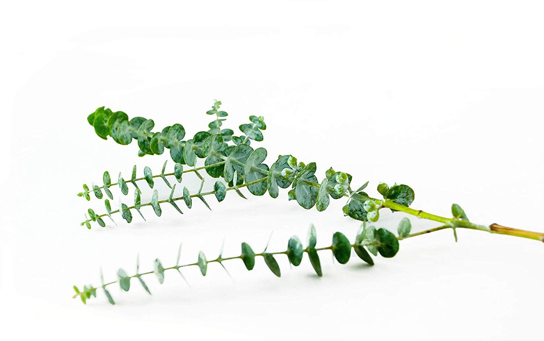 eucalyptus-stem.jpg
