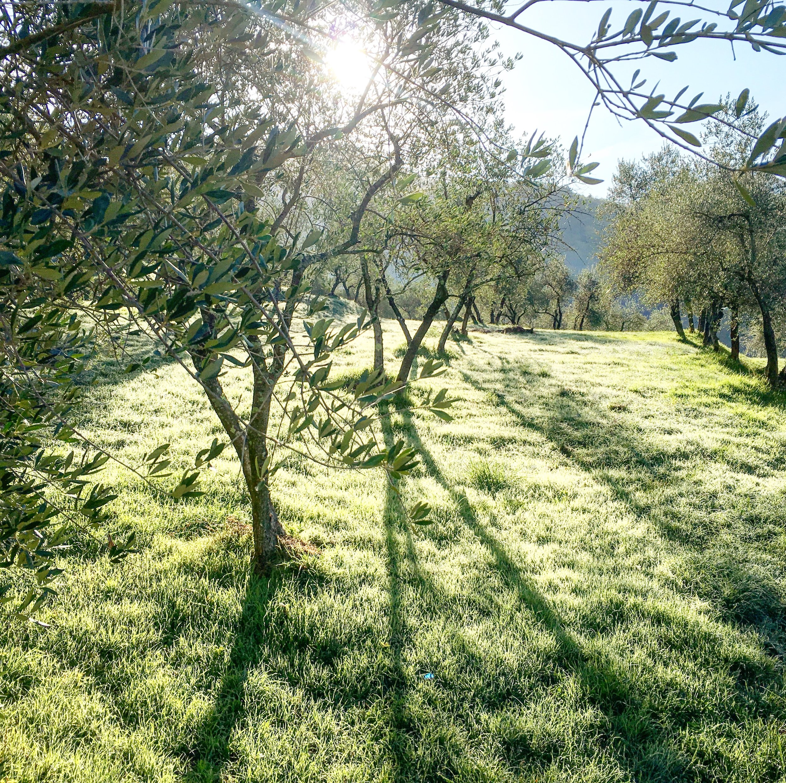 Early morning in the olive groves about Codiponte, Tuscany…