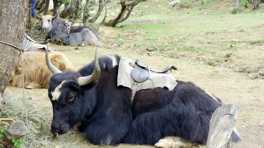 wild-yak.jpg