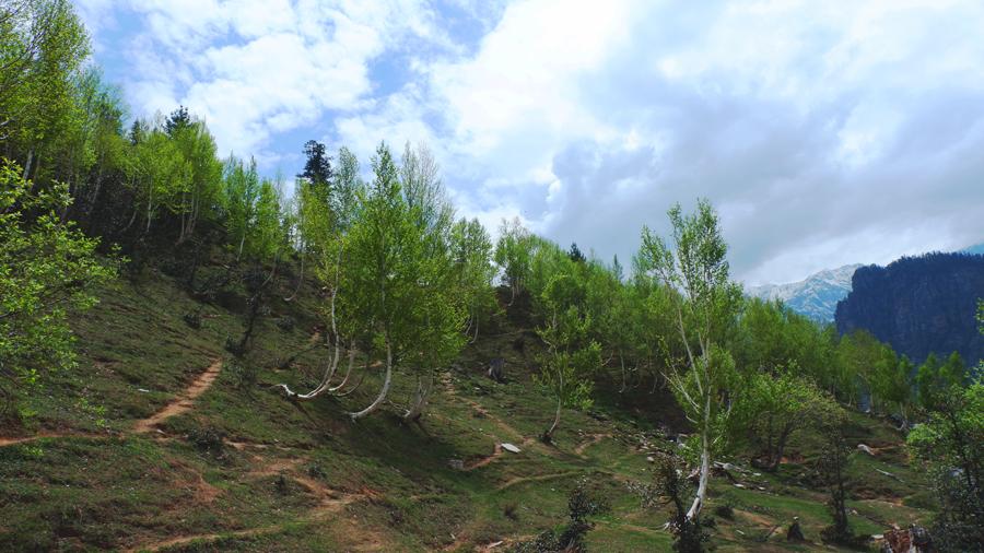 gulaba-trees-manali.jpg