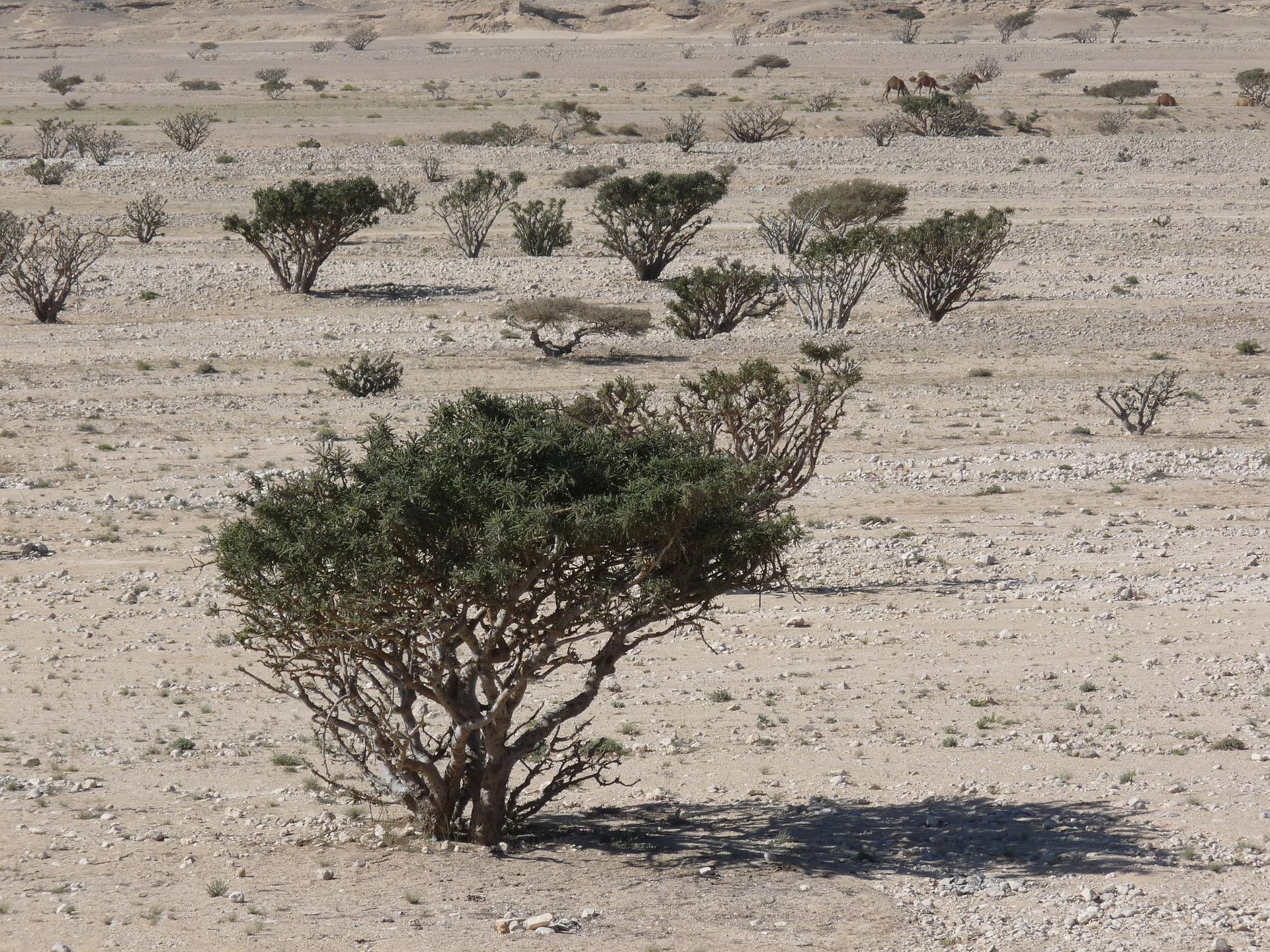 salalah_frankincese_luban_trees.jpg