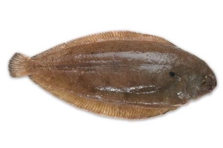 DOVER SOLE    Format:  Fresh   Size Grade : 0-100g | 100-300g | 300-500g | 500g+