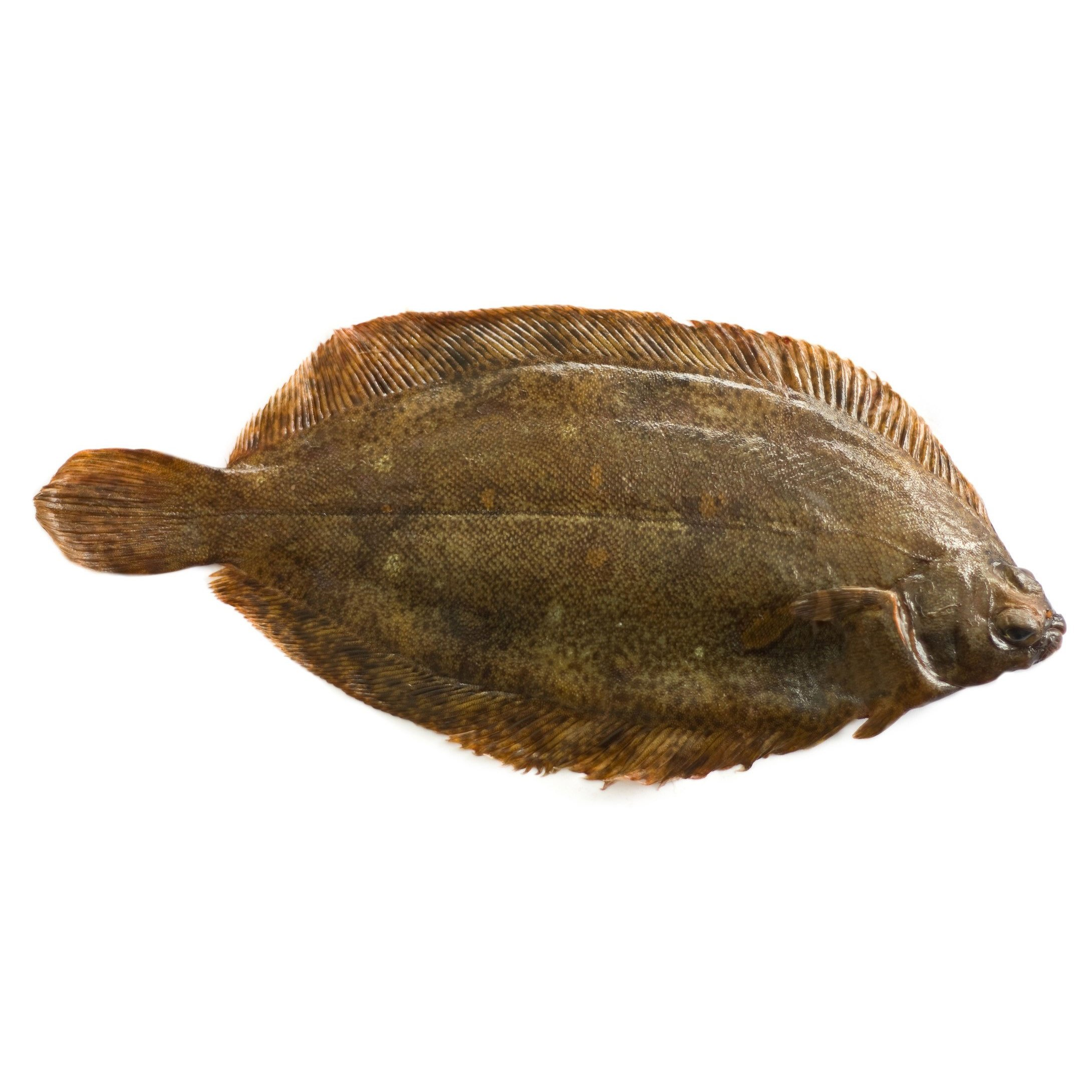 WHITE SOLE/ WITCHES    Format:  Fresh   Size Grade:  0-500g | 500g+