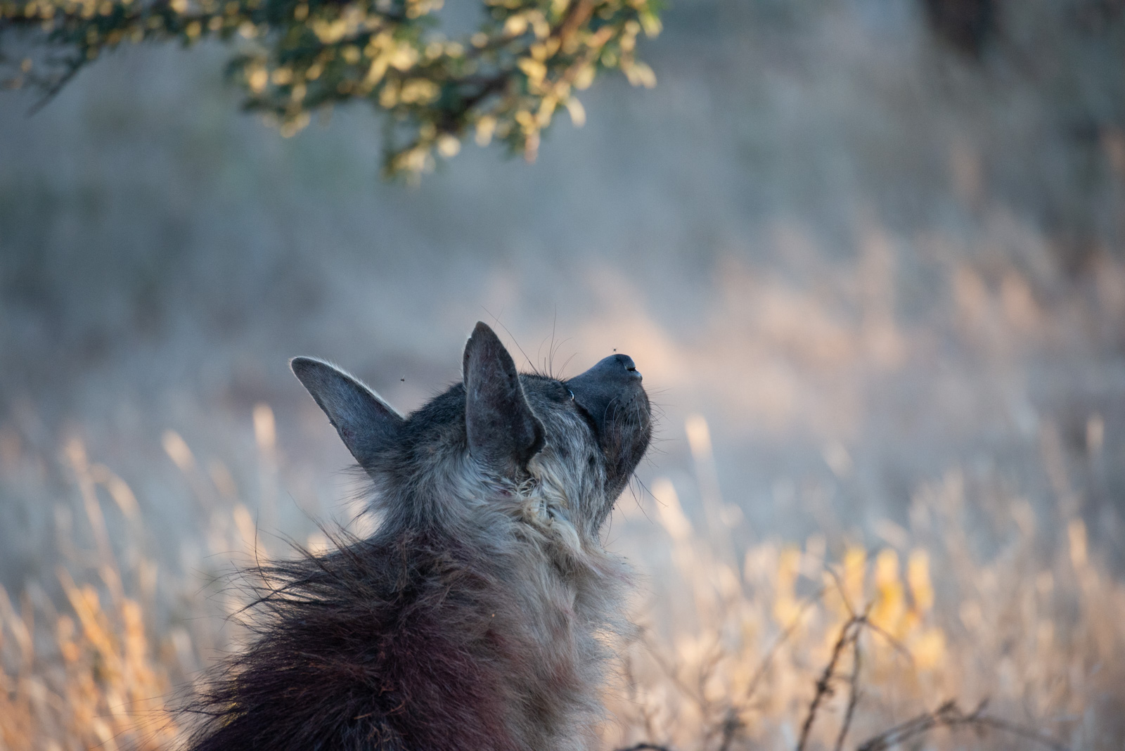 Namibia_okonjima brown hyena staring at tree-0121060.jpg