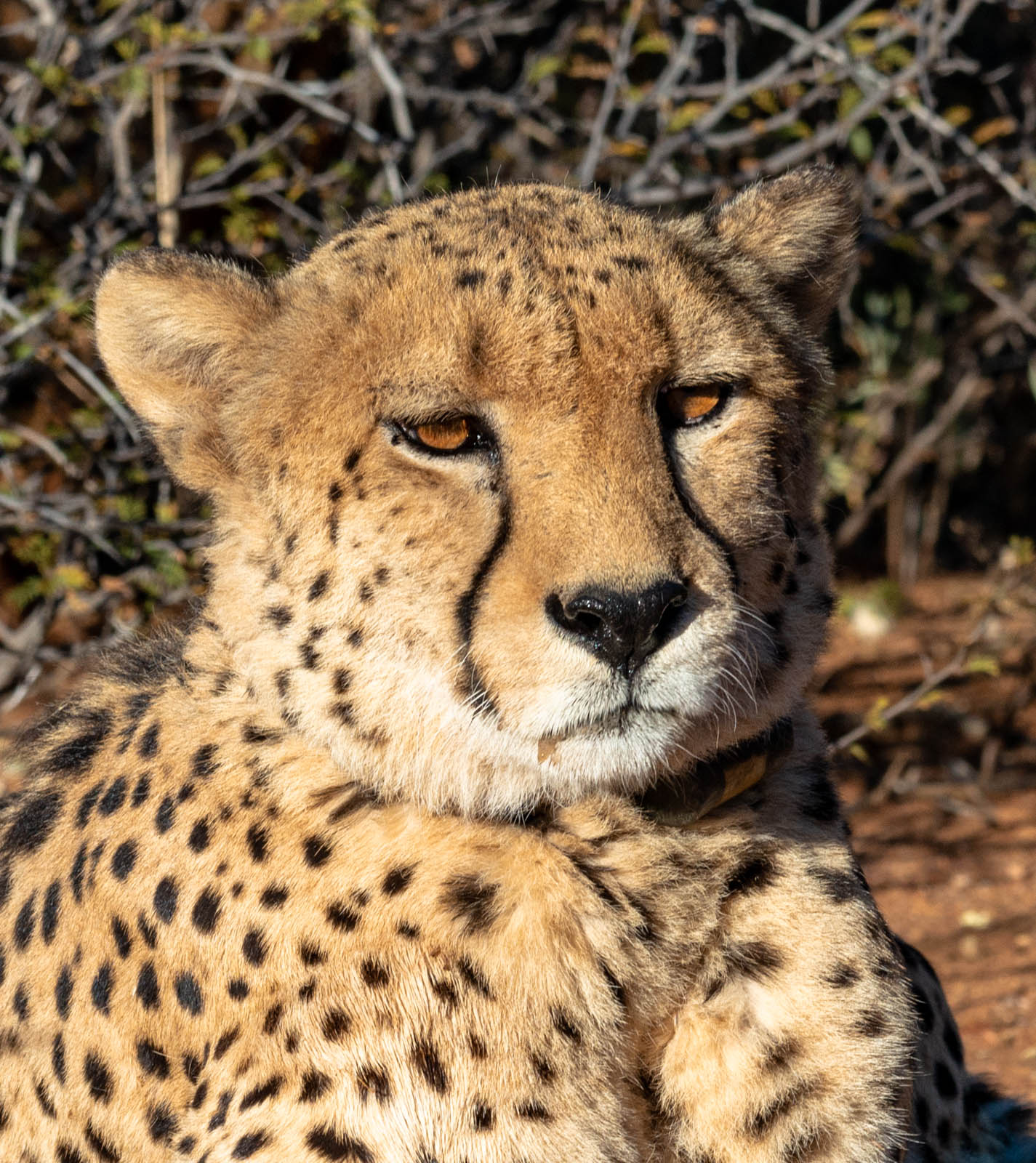 Namibia_okonjima cheetah head and shoulders-0121137.jpg