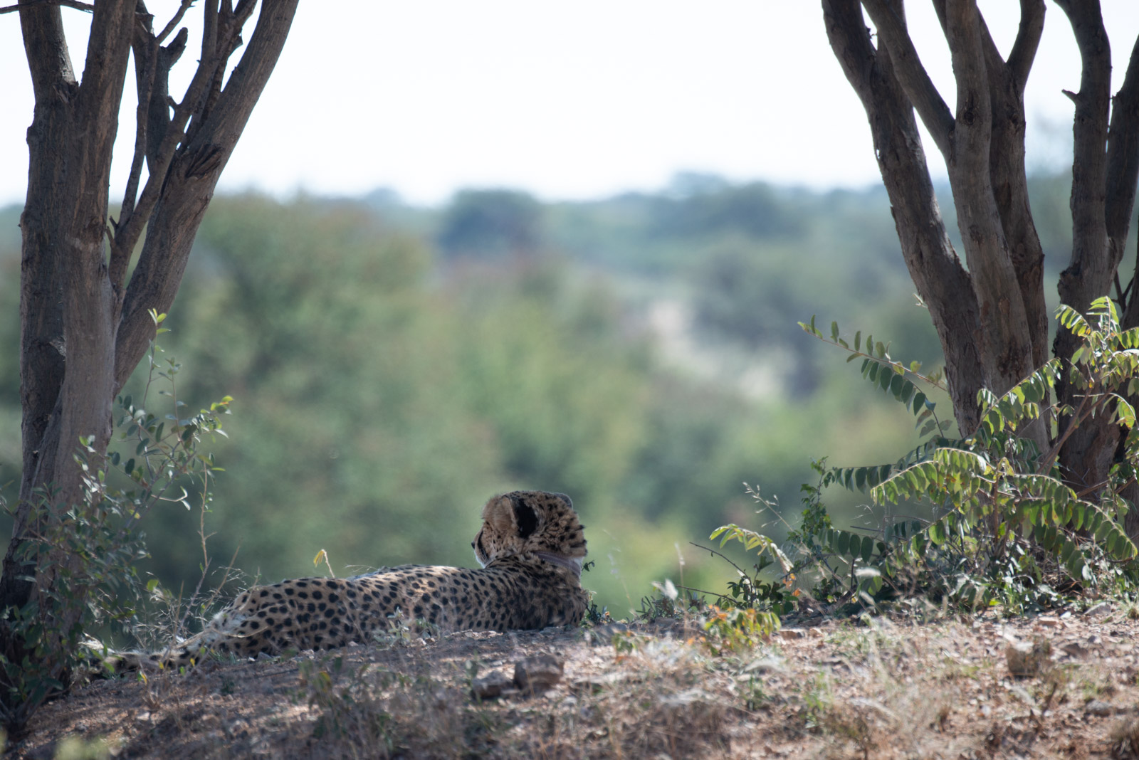 Namibia_Okonjima cheetah under tree-0120921.jpg