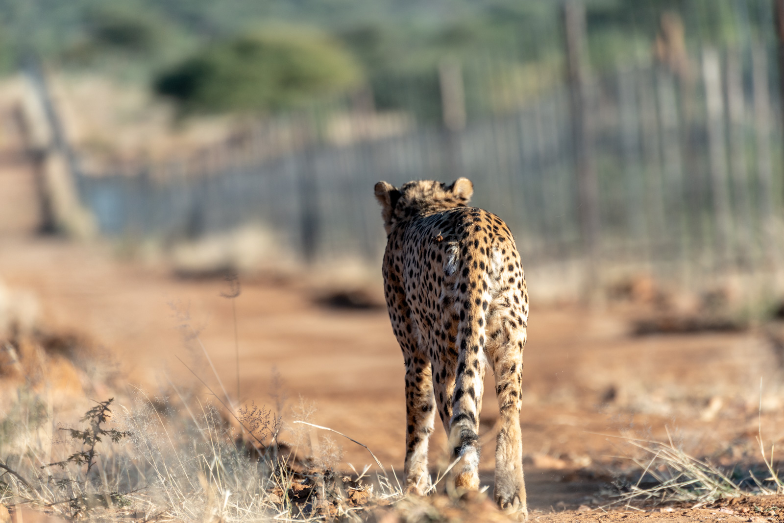 Namibia_Okonjima cheetah walking-0121121.jpg
